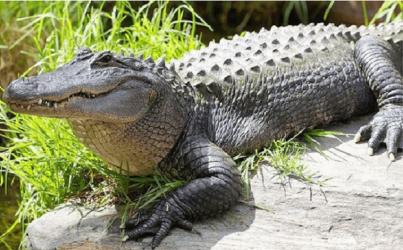 mơ thấy cá sấu đánh con gì